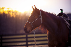 Whoever said diamonds are a girl's best friend clearly did not own a horse (wingardium leviosa.) Tags: light horse sun love beautiful fence golden evening amazing ride diamond cowgirl saddle goldenhour parelli