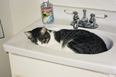 Watchful Moonlight in a sink (wbaiv) Tags: friends cats pets animal animals cat fur feline buddies gray pals whiskers domestic purr paws companion purrs familiaris