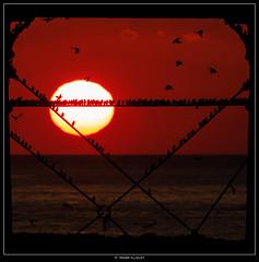 A Starling Sunset 1 (Mark Illsley) Tags: sunset metal wales aberystwyth ceredigion starlings aberystwythpier canon5dmarkiii markillsley