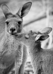 Baby Joey giving mum a kiss... (Marc Russo (Australia)) Tags: cute kiss joey mother mum kangaroo roo