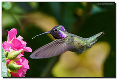 Costa's Hummingbird Feeding (Fraggle Red) Tags: male garden hummingbird feeding florida miami fairchild coralgables butterflyhouse costashummingbird fairchildtropicalbotanicgarden calyptecostae canonef70200mmf4lisusm miamidadeco canoneos5dmarkiii dombeyaseminole 5d3 5diii tropicalrosehydrangea wingsofthetropics