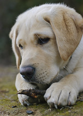 Marley (jbresco) Tags: puppy pups puppies lab labrador yellowlab canine stick dogpark retriver k9 doglife labradorretriver instatopdog