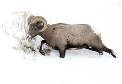 Big Horn Ram going through the snow (Deby Dixon) Tags: travel winter tourism landscape photography skull nationalpark wildlife goose adventure otter yellowstonenationalpark wyoming elk bison wolves bighornsheep naturephotography coyotes wolfwatchers