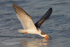 Black Skimmer Skimming - 0397 (floridanaturephotography) Tags: beach florida shoreline coastal coastline atlanticocean blackskimmer skimming