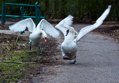The Rout (joewest2) Tags: swan naturereserve runcorn birdinflight wiggisland joewestwood 5thelementphotography