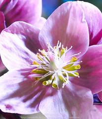 Memories of Unfolding Joy (Pardon The Lens) Tags: flowers toronto macro nikon macros flowershow homeshow canadablooms nikond90 mar182013 canadablooms2013 canadablooms13