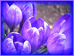 Feeling Blue! ('cosmicgirl1960') Tags: flower nature gardens purple parks crocus lilac mauve yabbadabbadoo worldflowers