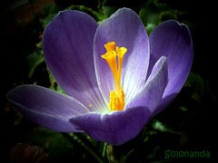 crocus (solonanda non c'è più) Tags: flowers macro violet crocus fiori fiore viola thegalaxy masterphotos artisticflowers takenwithlove exquisiteflowers mindigtopponalwaysontop lovelyflickr coth5 fleursetpaysages goldamazingdetails macromagister thegoldenachievement rememberthatmomentlevel4 goldenachievement rememberthatmomentlevel1 rememberthatmomentlevel2 rememberthatmomentlevel3 rememberthatmomentlevel7 rememberthatmomentlevel9 rememberthatmomentlevel5 rememberthatmomentlevel6 rememberthatmomentlevel10 rememberthatmomentlevel8butterfly dreamlikephotos