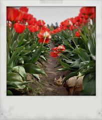 In Fum's Garden (Janine Graf) Tags: red silly floral garden spring tulips surreal rhino sneeze whimsical whiterhinoceros zyrtec achoo fauxlaroid fum juxtaposer tiltshiftgen janine1968 kingcamera janinegraf squaready snapseed agiantsflowergarden crazyhighpollencount