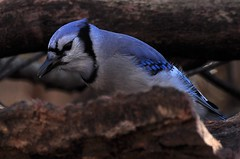 Blue Jay......... Explored (l_dewitt) Tags: connecticut ct bluejay birdwatching southeastern wildlifeimages brushpile backyardbirds connecticutwildlife bbirdimages brushpileimages