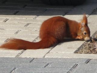 Eichhörnchen - Futtersuche am Parkplatz, NGIDn1178539250