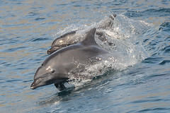 Smiling Dolphin (Tim Melling) Tags: mexico dolphin baja bottlenose tursiopstruncatus santacatalina timmelling