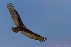 BIF Practice (Jerry_a) Tags: birds delaware turkeyvulture birdinflight bombayhook canonef500mmf4lisusm canon7d