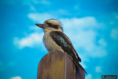 Kookaburra (Explored 2013-04-05) (CLICKS by RM Photography) Tags: sky cloud colour bird beautiful colours native australia kookaburra 2013 canon600d