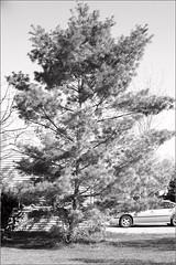 The White Pine (joeldinda) Tags: bw tree pine backyard whitepine f200 joeldinda
