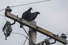 Pay attention to the Sign (Tom Moyer Photography) Tags: california powerlines vultures sonomacounty powerpole turkeyvulture geysersroad