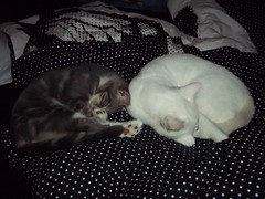 Siberian and Minion (iluvcats4life) Tags: sleeping kittys minion sicoverage