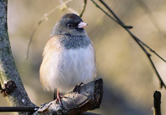 Dark-eyed Junco (TOTORORO.RORO) Tags: park camera bridge portrait canada bird nature dof bc zoom bokeh britishcolumbia sony cybershot super richmond marsh alpha sportsaction naturepark darkeyedjunco juncohyemalis carlzeiss greatervancouver variosonnar mirrorless hx300 dschx300 dschx300b