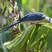 Avifauna molto diffusa sull'isola di Ometepe