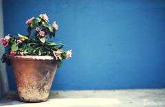 [020] - rose (jathdreams) Tags: pink blue roses india green nature rose vintage 50mm nikon grunge pot 365 chennai vignette 50mmf14d project365 nikond5100