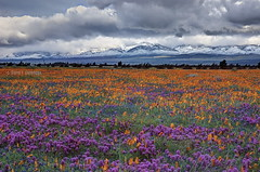 Good morning, Antelope Valley (Chief Bwana) Tags: ca snow desert poppy poppies wildflowers antelopevalley tehachapi owlclover psa104 chiefbwana tehachapirange