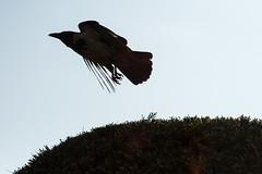 Takeoff (Brnzei) Tags: trees sky motion birds animals silhouette flying m42 flare crows manualfocus  valdai bucureti canoneos400d helios44258mmf2 parculherstru