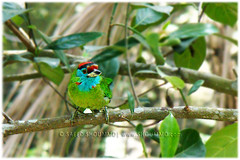 Blue thorated Barbet/  /   (Shoummo ()) Tags: bangladesh  bluethroatedbarbet birdsofbangladesh  bangladeshibirds  saeedshoummo  shoummo