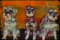 The Schnauzers (jta1950) Tags: portrait dog chien pet pets painterly cute texture dogs animal three framed background adorable canine miniatureschnauzer schnauzers dogportrait 8lits