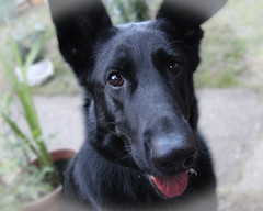 Phoebe (ec1jack) Tags: ec1jack kierankelly canoneos600d bedfordshire england britain uk europe august 2016 black germanshepherd alsatian