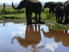 Elephants at Samburu ! (Mara 1) Tags: africa water animals reflections outdoors kenya ears trunk elephants samburu