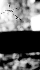 (crystalloid) (Dinasty_Oomae) Tags: arco arco35  35   monochrome blackandwhite blackwhite outdoor street ibaraki     ryugasaki    spider