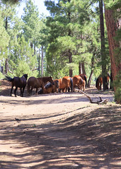 I58C0031 (Wild Arizona Photography) Tags: wildhorses forest trees nature