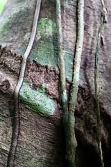 Monteverde Cloud Forest (elisecavicchi) Tags: detail explore tree vine ivy indent ridge bark trunk green brown mottled monteverde cloud forest woods discover central america costa rica rainy season unity impression