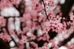 Ciruelo (Bang!!) Tags: ciruelo flor flower bloom plumtree rosa pink trees