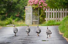 See you later! (Nancy Rose) Tags: 9117 roses birds pheasants shelburne guineafowl runningaway