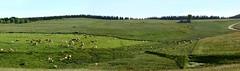 Le troupeau et le buron (brigeham34) Tags: rando cheminsdecompostelle viapodiensis gr65 domainelesauvage panorama paysage campagne boisetforts champsetptures prairiesfleuries gents vallonnements troupeau vaches buron chnerailles margeride hauteloire auvergne france fz45 eu