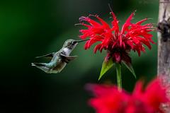 Ruby-Throated Hummingbird (Explored) (soupie1441) Tags: bird rubythroated hummingbird green red nikon d7200 canada ontario 200500mm nikkor closeup wild life wildlife narure explore explored