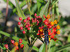 butterfly weed 2 (foxtail_1) Tags: hahnhorticulturegarden hahngardens hahngarden butterflyweed asclepiastuberosa wasp