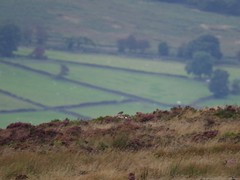pallid harrier sighting peak district 9 sep 2016 3.30pm (Simon Dell Photography) Tags: hen harrier sighting 9 sept 2016 peak district moor longshaw supprise view suprise cliff edge derbyshire sheffield simon dell photography pallid sep 330pm