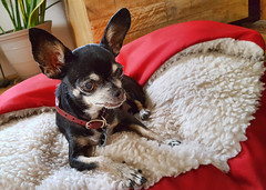 Dog Day - Let's Celebrate! (Helen Orozco) Tags: minky dogday chihuahua celebrate galaxys6 dog rescue babydoggy ears