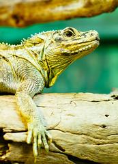 Lizard (VirtualWolf) Tags: animal australia bokeh canonef135mmf2lusm canoneos7d equipment lizard mosman newsouthwales places reptile sydney tarongazoo techniques wildlife