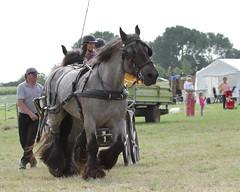 IMG_7697 (Snapshot(wo)man) Tags: rockanje powerhorse trekpaarden
