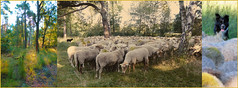 Indian summer (Tedje51) Tags: sheep mondaymorning walk flock september 30c
