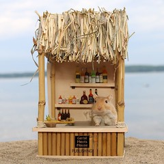 What can I get you? #gerbil #miniature #mini #dollhouse #dollhouseminiature #dollhouseminiatures #miniatures #alcohol #drinks #beach #barrieontario #petsofinstagram #pets #rodents #rodent #tiki #tikibar #instafollow #pet #bamboo #handmade #craft #petsofin (GerbilMeetsMouse) Tags: ifttt instagram gerbil