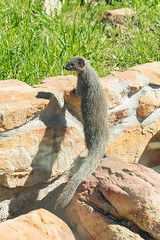 0Z4A8489 (francois f swanepoel) Tags: galerellapulverulenta herpesidae capegreymongoose cheeky eat grabouw meerkat mongoose smallgraymongoose weskaap westerncape fangs carnivore