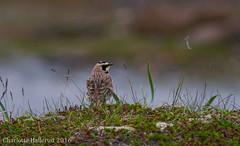 Fjellerke / Eremophila alpestris / Horned lark (charlottebh) Tags: finnmark hornedlark