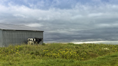 160822_783-2 Hiding from the storm (MiFleur...Thank You for 2 Million Views) Tags: cows vaches storm charlevoix leseboulements quebec travel voyage scenery landscape paysage mer agriculture animal oldbuilding
