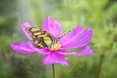 Garden feries (saundersc29) Tags: butterfly flower pink yellow summer naturethroughthelens polinators anemone