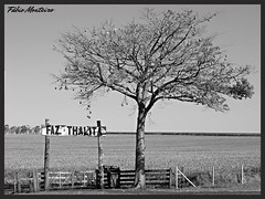 Paineira (Ceiba specisa) (Fbio & Carol) Tags: pretoebranco monocromtico rvore tree campo rural caipira fazenda farm countryside field planta agrcola agricultura itasp amricadosul brasil brazil bw blackandwhite interiorpaulista interiordesopaulo lavoura porteira paina paineira