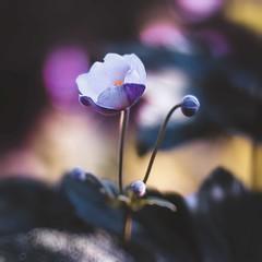 Flora (snegiri.bird) Tags: flowers summer nature